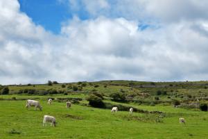 cattle hills
